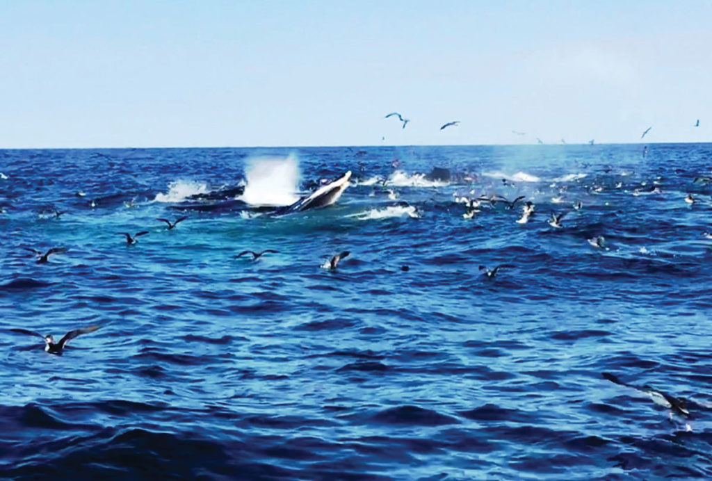 2018 9 Transitioning Into Fall Whales, Birds Tuna On Sandeels