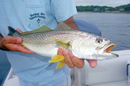 2018 9 Yellow Finned Glimmer Hope WEAKFISH