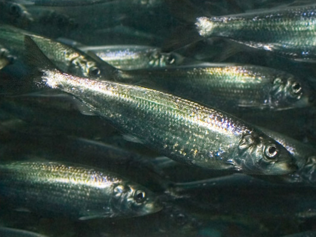 2017 12 Dockside Its Time For Herring Fishes
