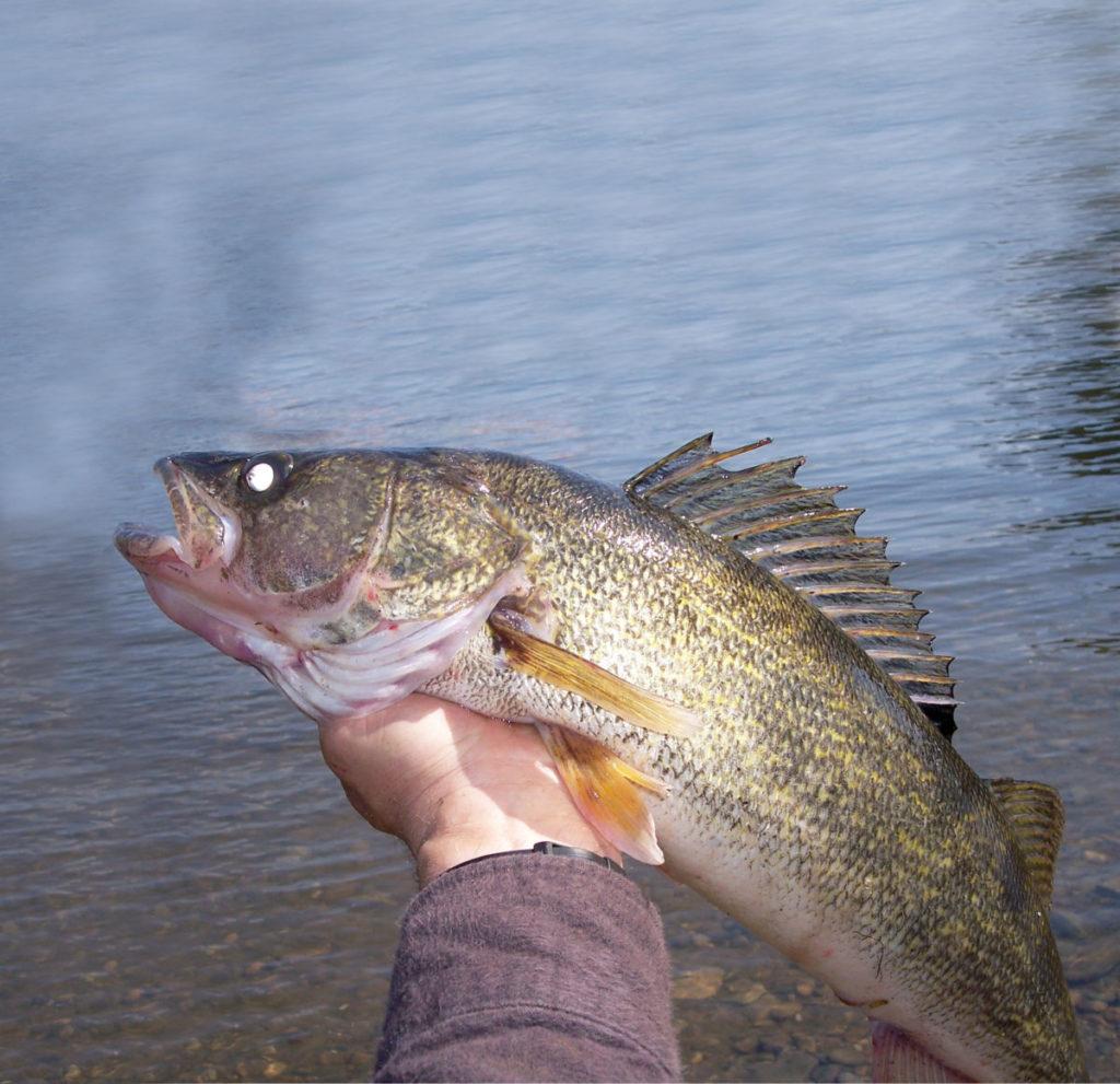 Late Winter Walleye