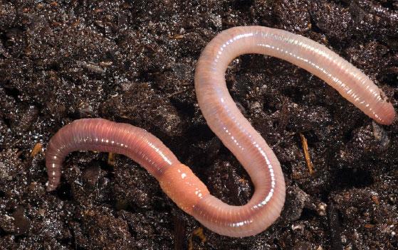Behold The Lowly Earthworm Nightcrawlers Body