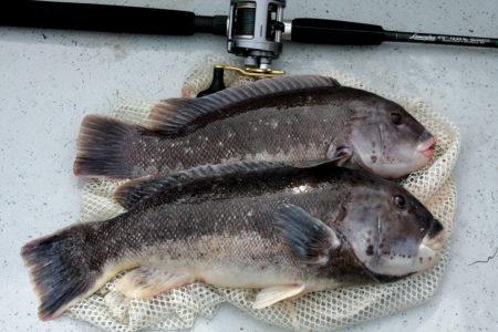 Soft Bait Secrets Blackfish