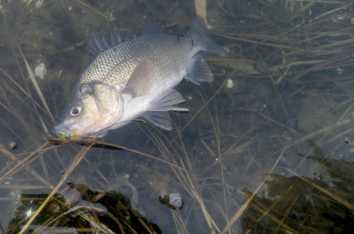 White Perch Another Spring Option