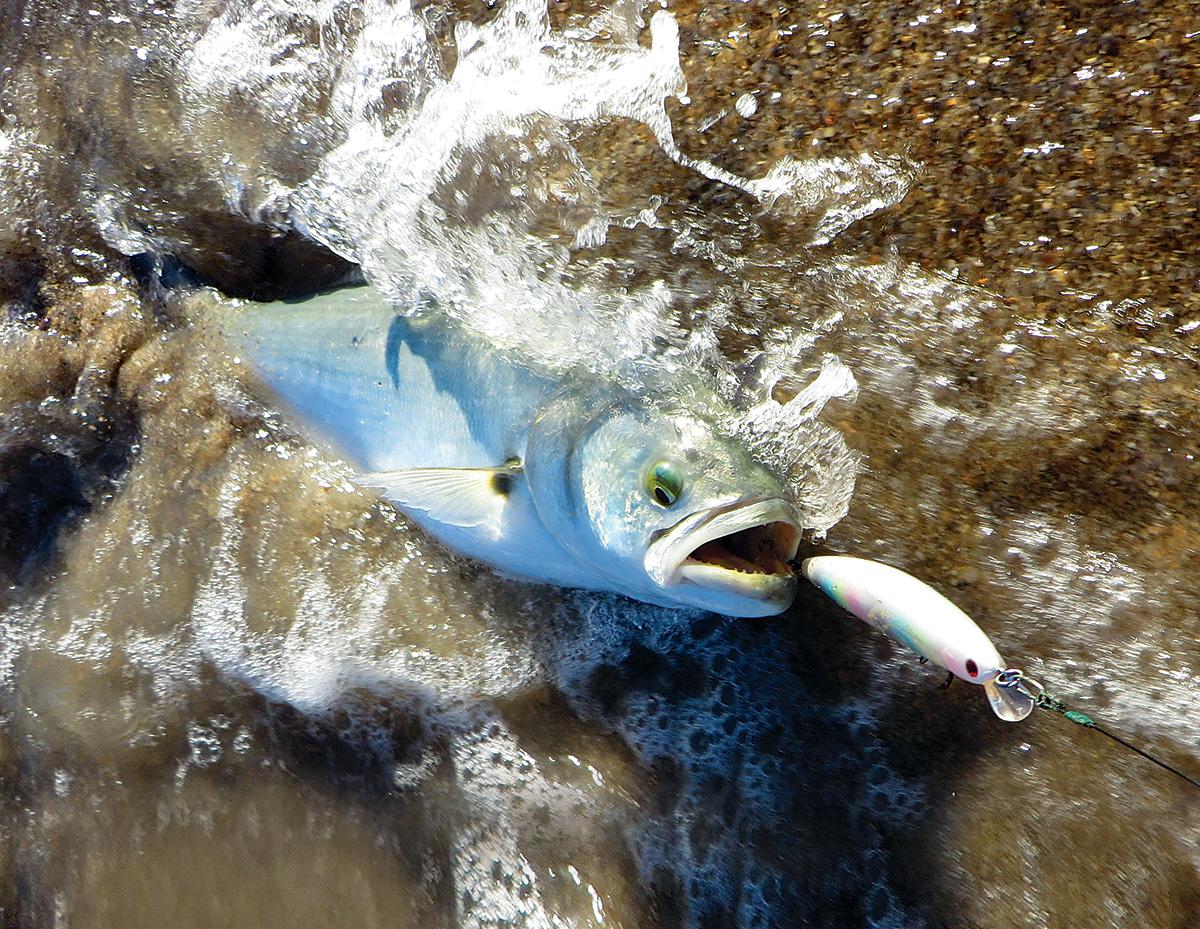 2017 7 Finicky Summertime Blues Bluefish