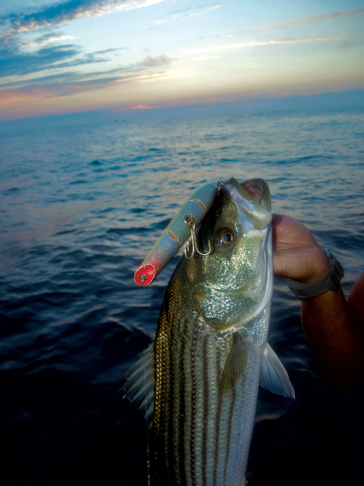 2017 7 The Eclectic Striped Bass Diet AlexMajewskiPOPPER