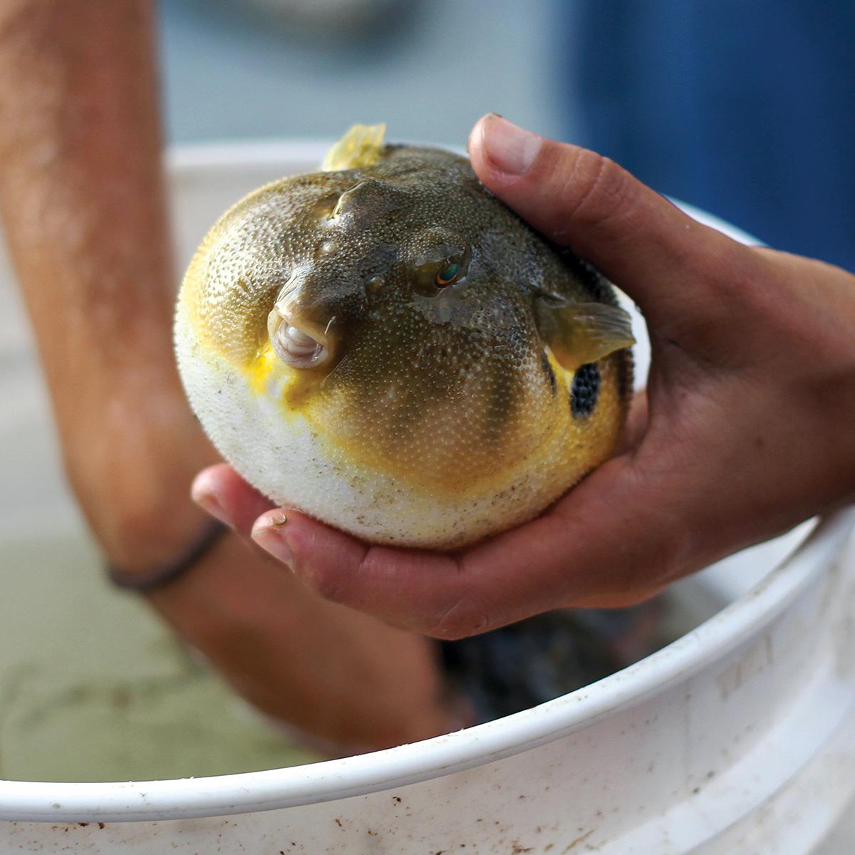 2017 9 Mixed Bag Bonanza Blowfish