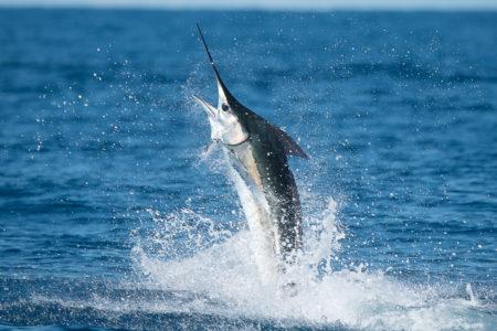 2018 3 Wacky But True Marlin