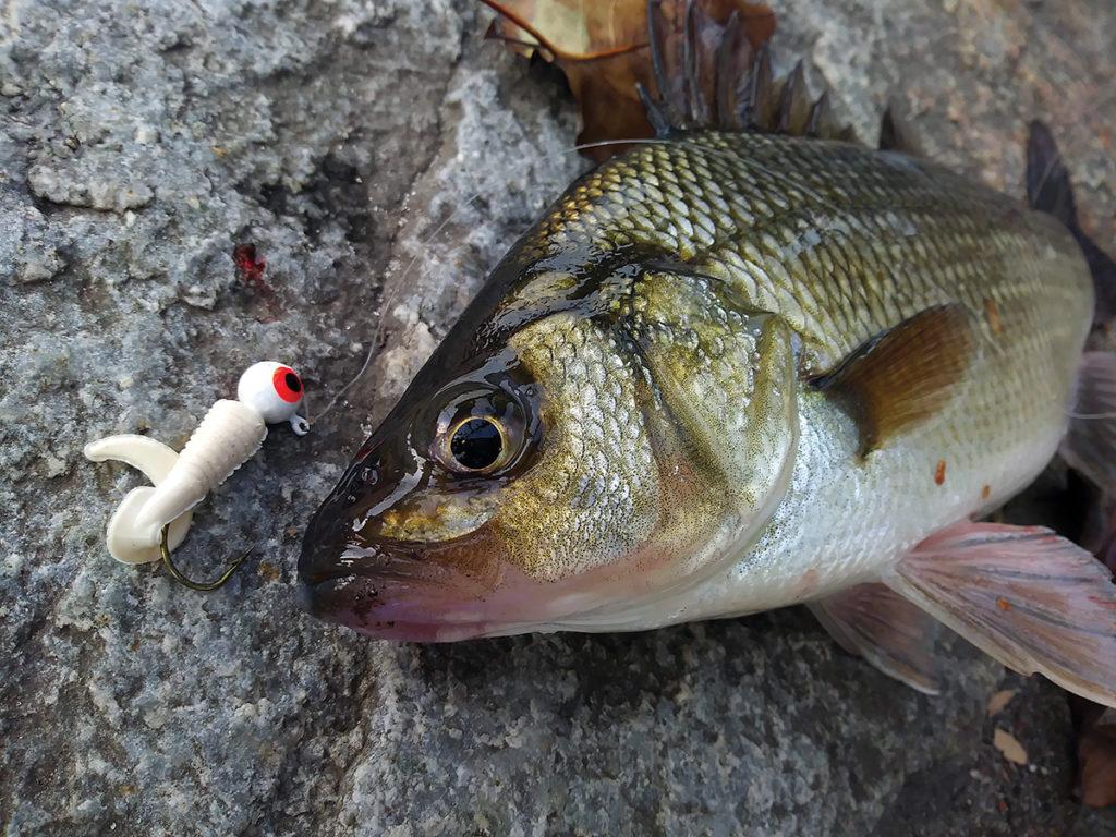 2018 4 White Perch Striped Bass Bait