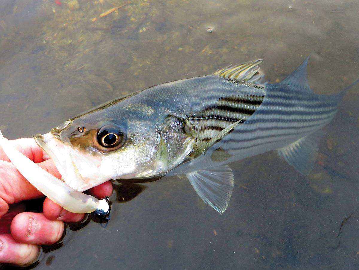 2018 4 White Perch Striped Bass Catch