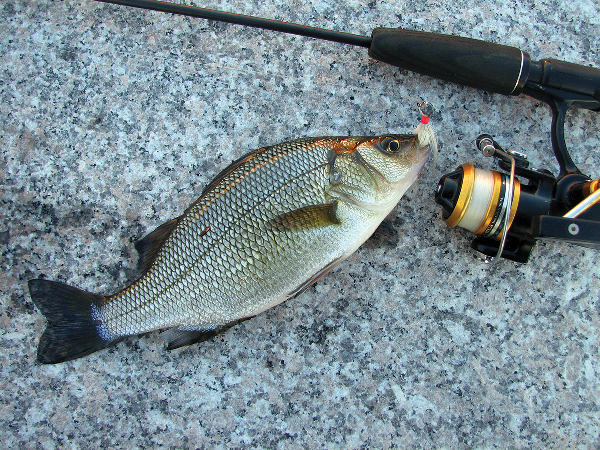2018 4 White Perch Striped Bass Fish