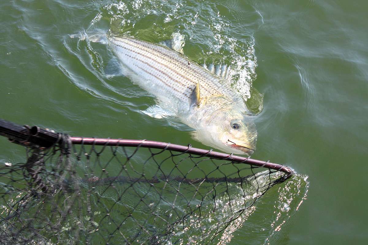 2017 10 Attracting Stripers Low Down Chunking Circle Hooked 002 Photo By John DeBona