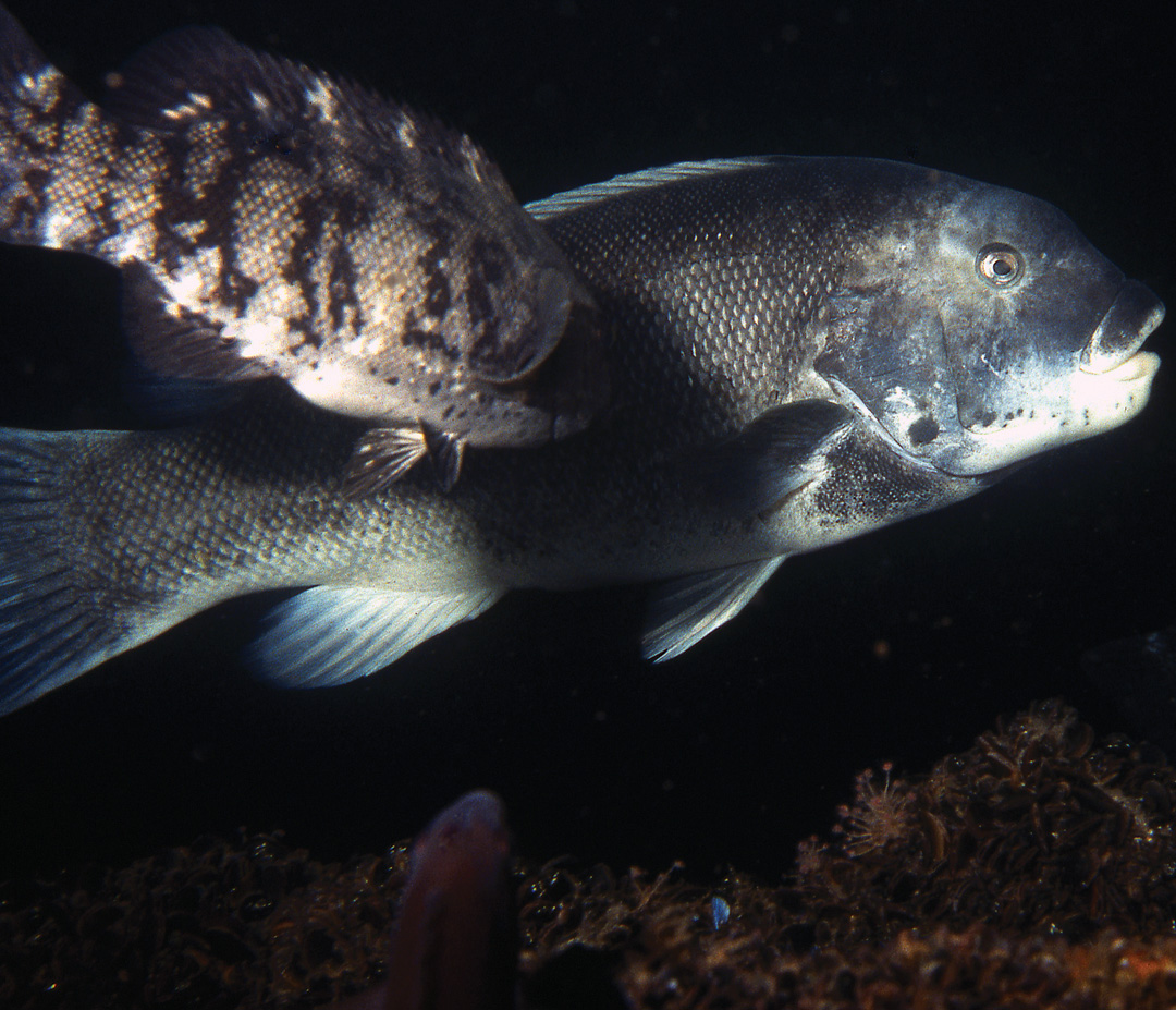 2017 10 Tautog Observations Insights Fishes