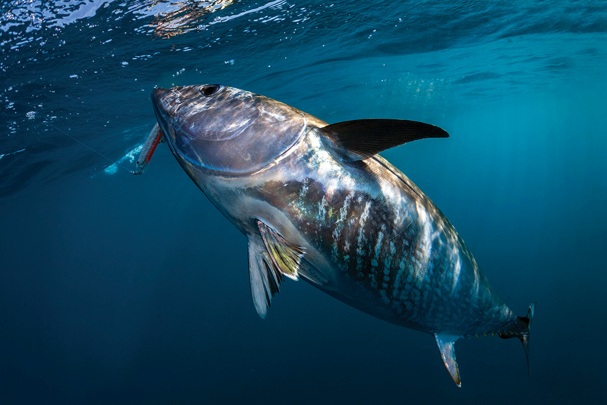2017 11 Bluefins For The Holidays Bluefin 1