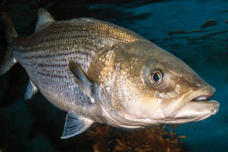 2018 2 Striped Bass History Life Cycle Adult 30 40 Pounds