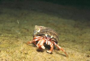 2018 4 Springs Soft Bait Secrets Hermit Crab RM