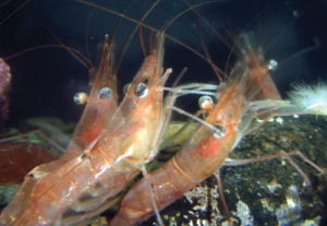 2018 4 Springs Soft Bait Secrets Shrimp RM