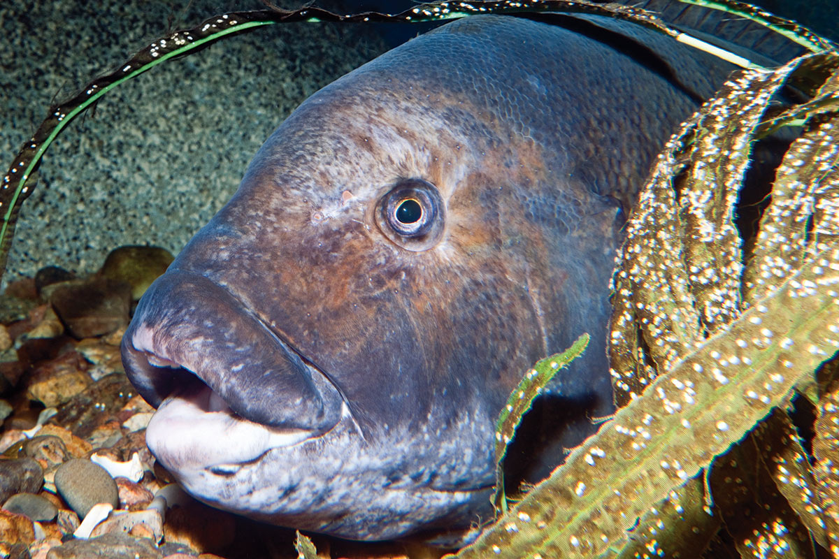 2018 4 Springs Soft Bait Secrets Tautog Underwater RM