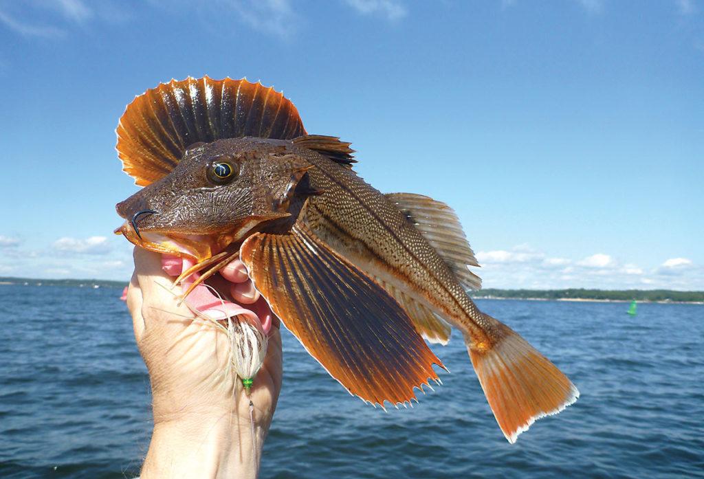 2018 6 SEA ROBIN Salad Fish