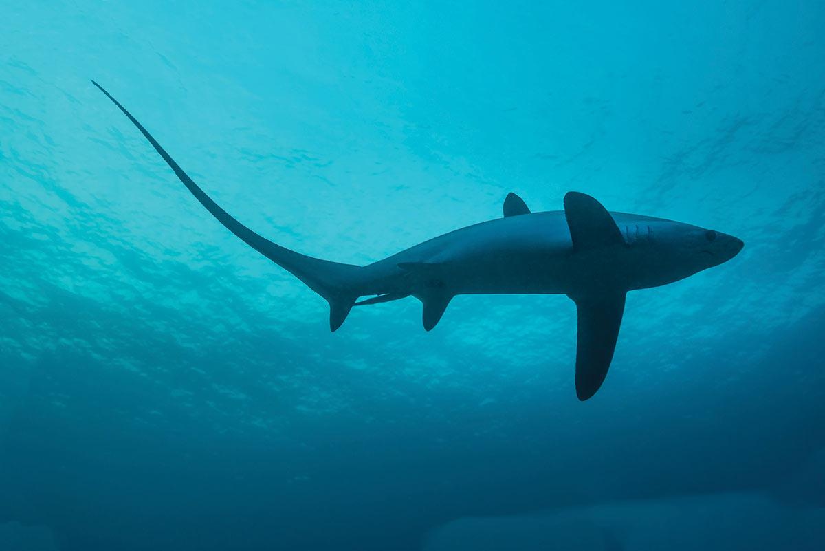 2018 6 Shark Science Shark Underwater