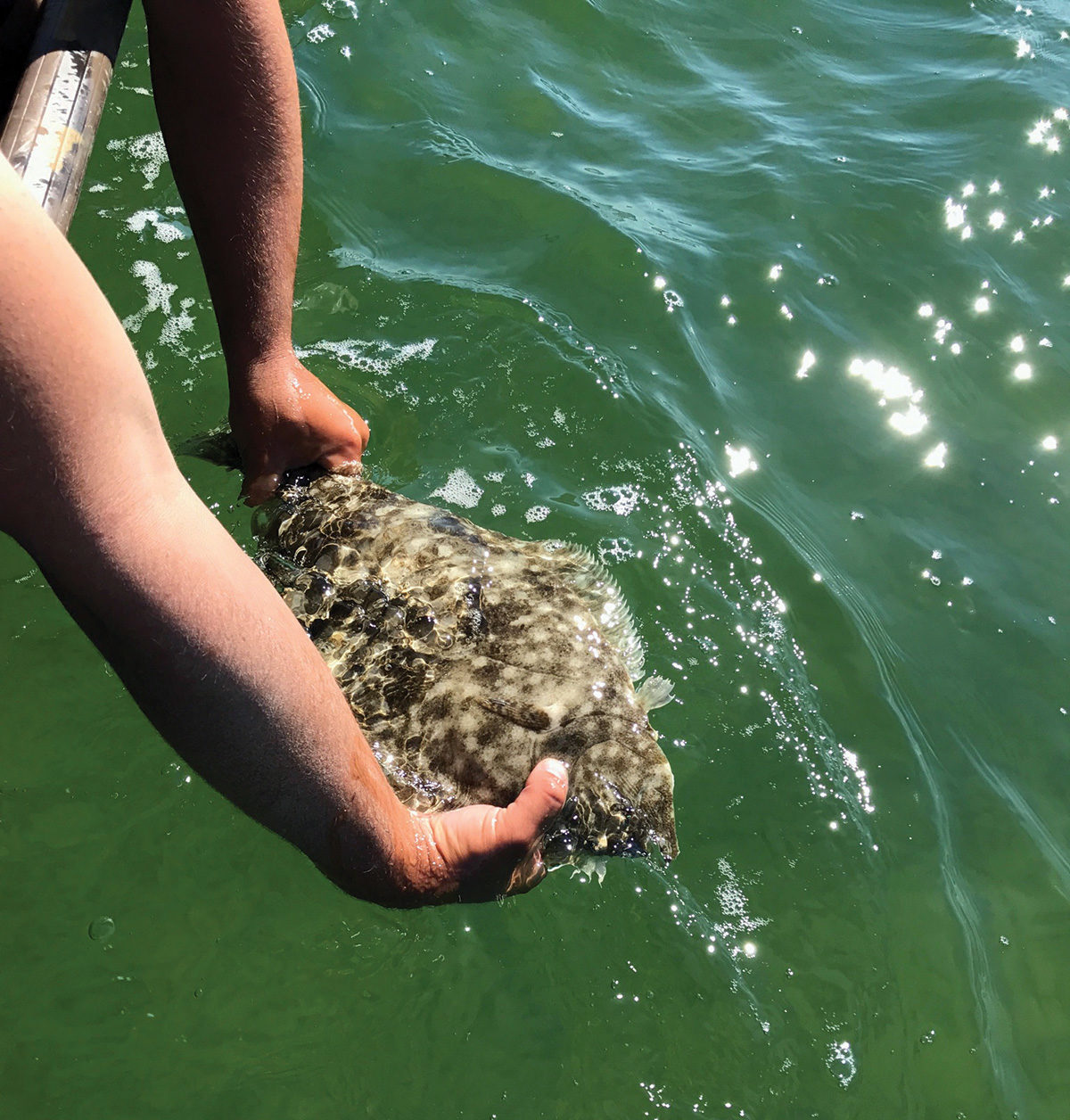 2018 8 Skinny Water Fluke Fish