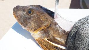 2018 8 Searobbins Trash Fish No More Fillet3