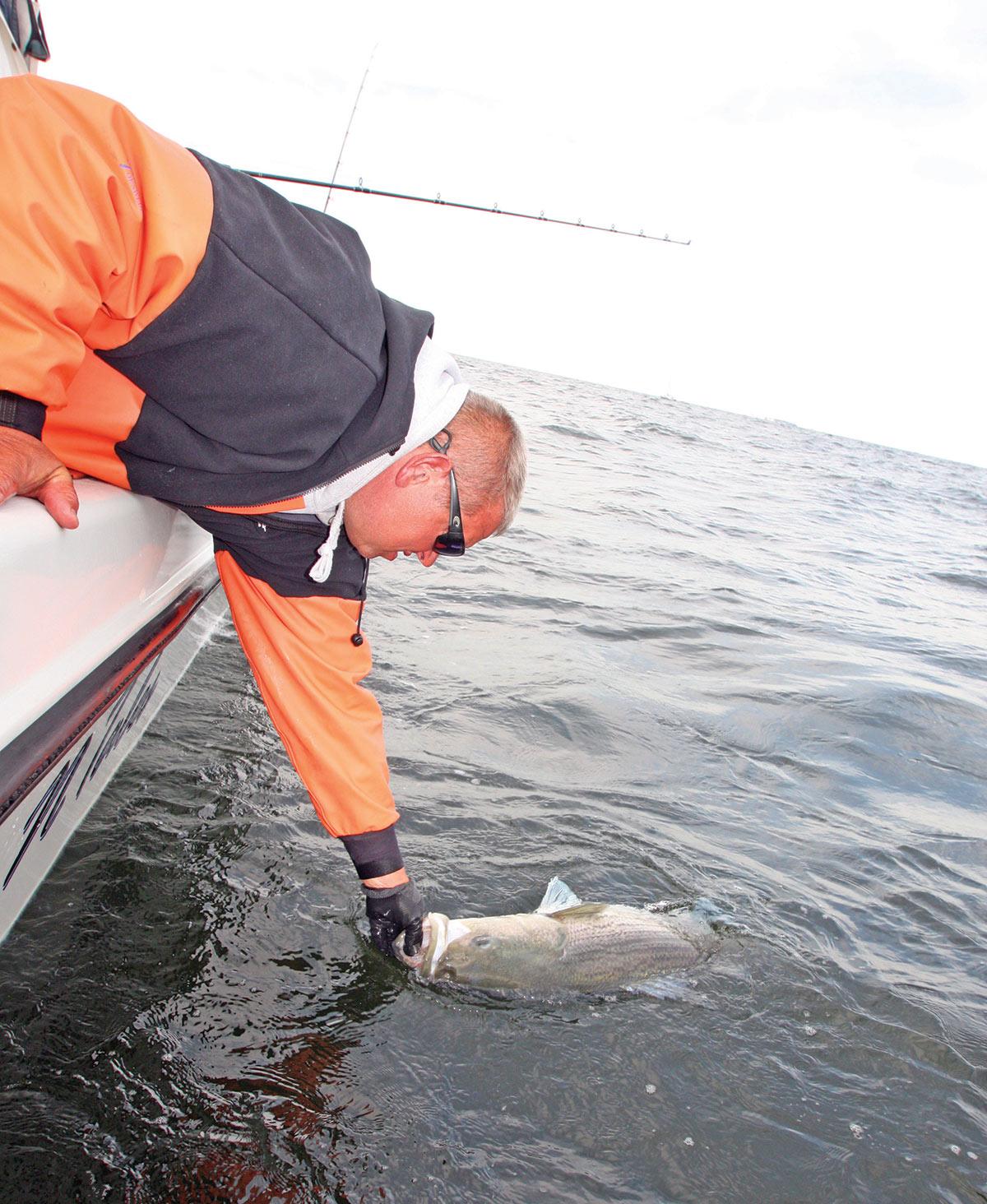 2018 11 Do Bigger Stripers Make Better Spawners GOOD FISH By JDB