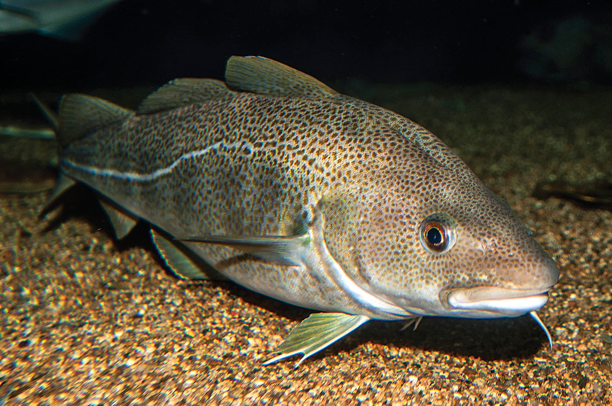 2019 2 Profiling The Atlantic Cod Cod