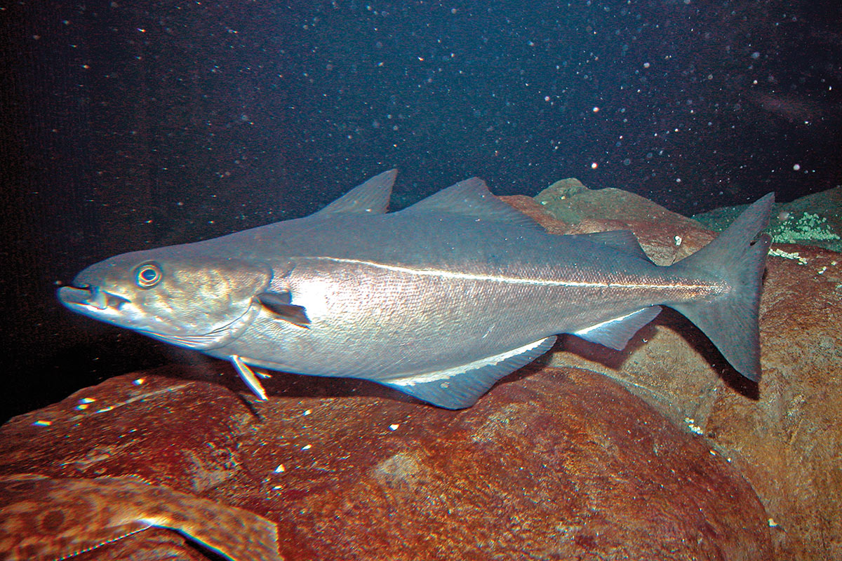 2019 2 Profiling The Atlantic Cod Pollock