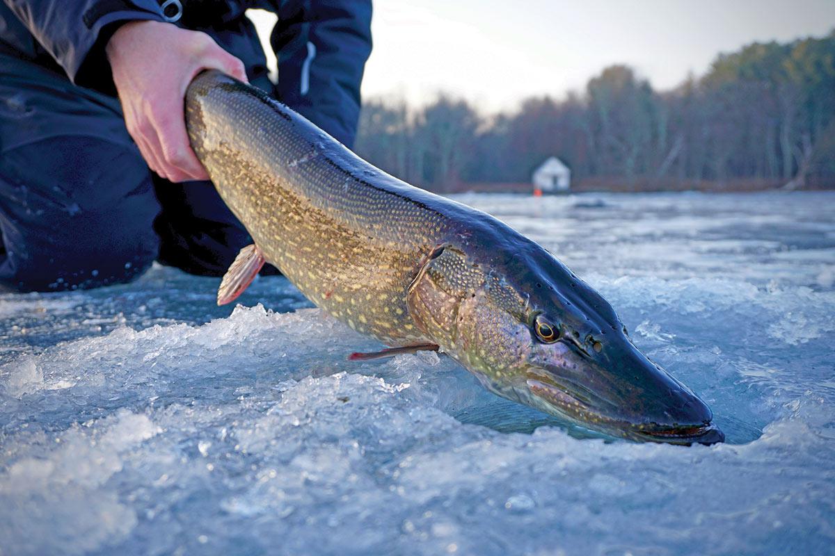 2019 2 Winter Gamefish Ice Wolves Fish