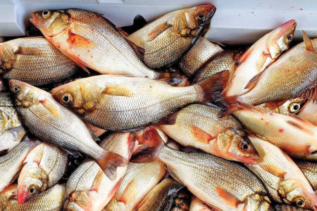 2019 3 Late Winter White Perch COOLER OF FISH
