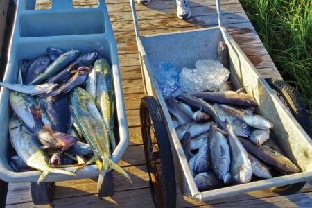 Two wheelbarrow full of tuna fish