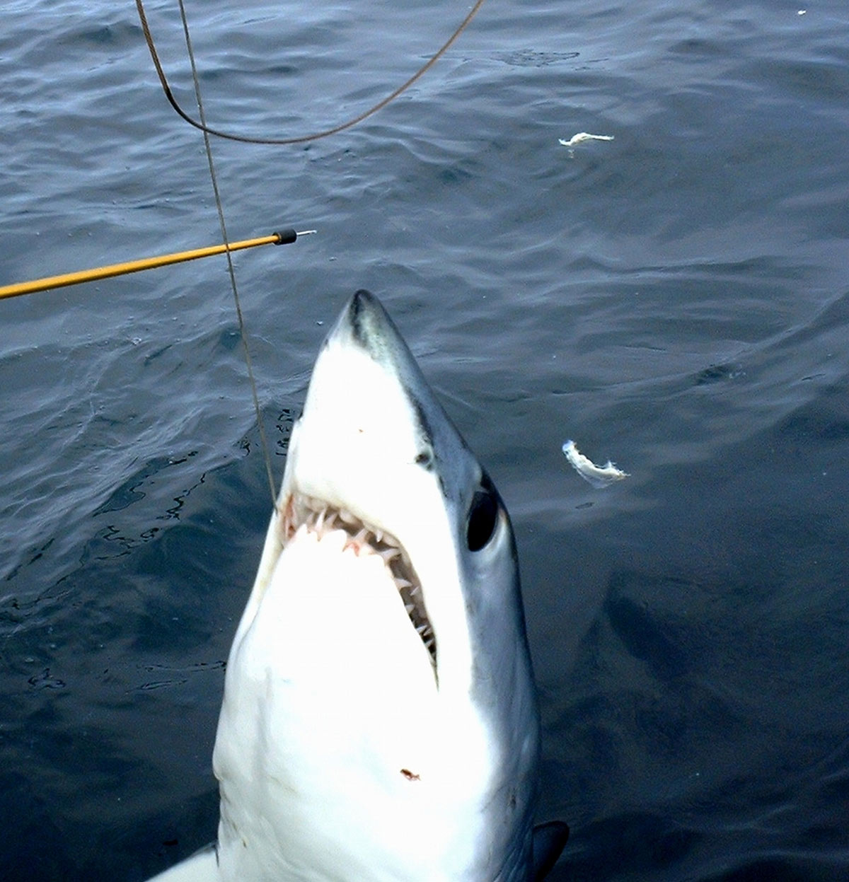 Shark with half its body above water attached to a fishing rod