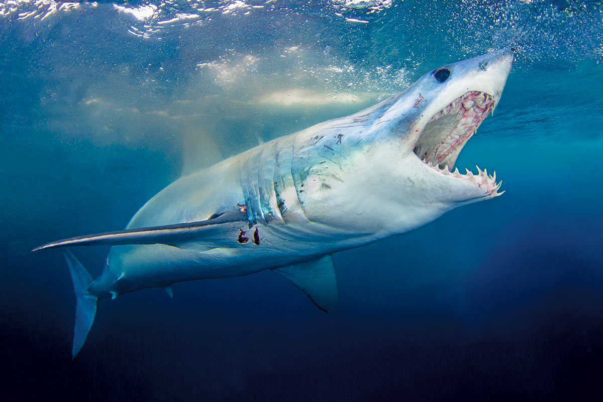 Shark with open mouth swimming underwater