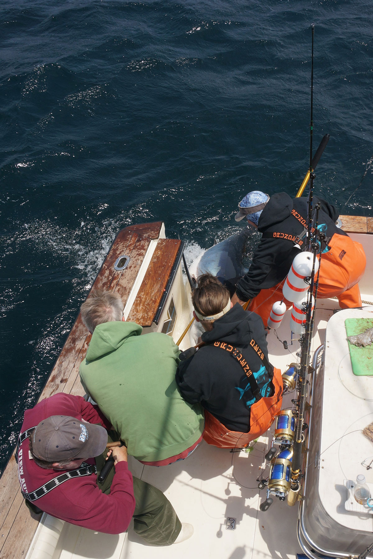 Four men working together in a boat to bring large mko shark through tuna door