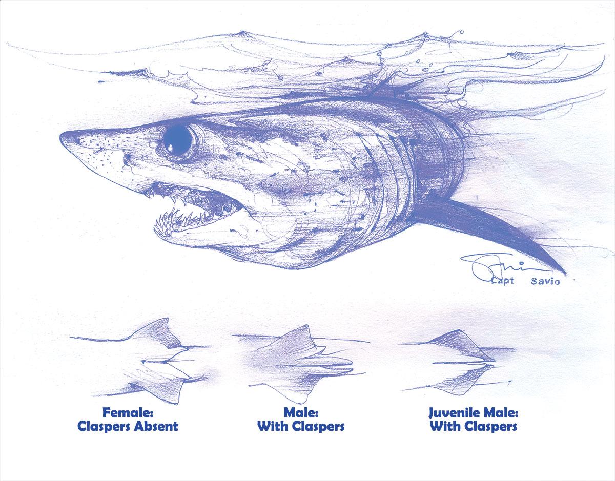 Artwork of shark