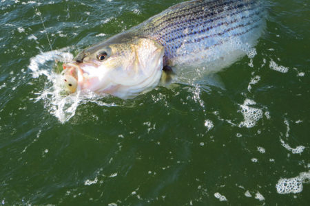 Caught striped bass in water