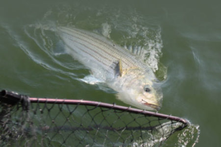 Fish in the water almost caught by net