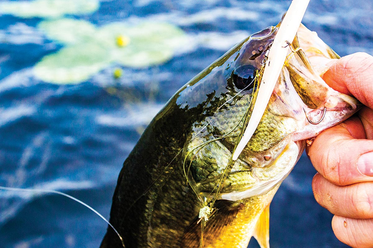 Bucketmouth bass attached to a skinny soft plastic bait