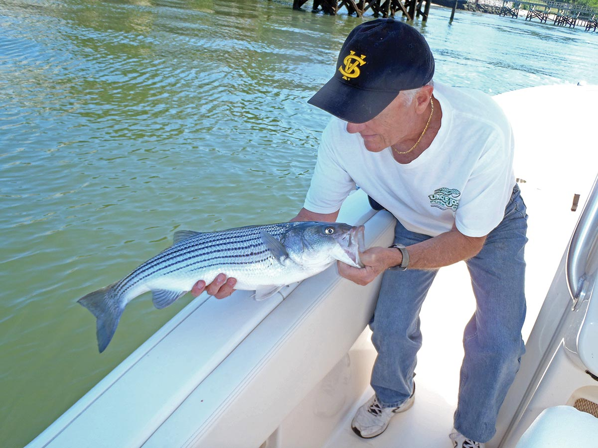 Man releasing the stripers he caught carefully