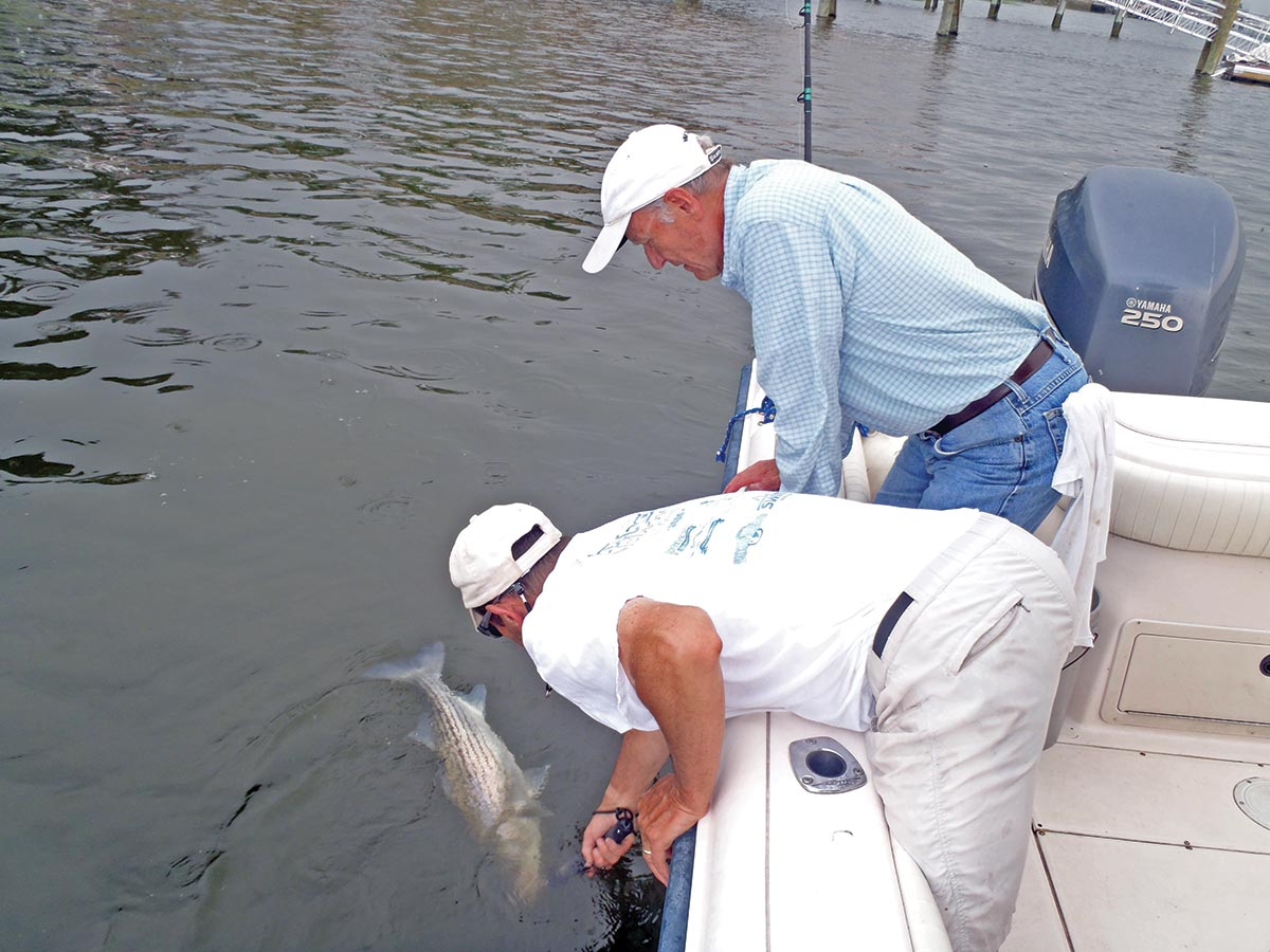 Stripers caught still in the water