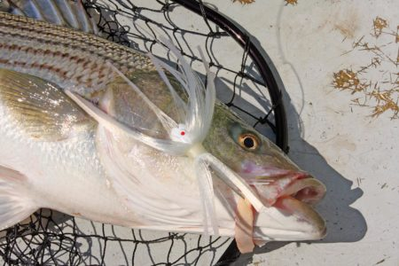 Hooked sea bass on a bait
