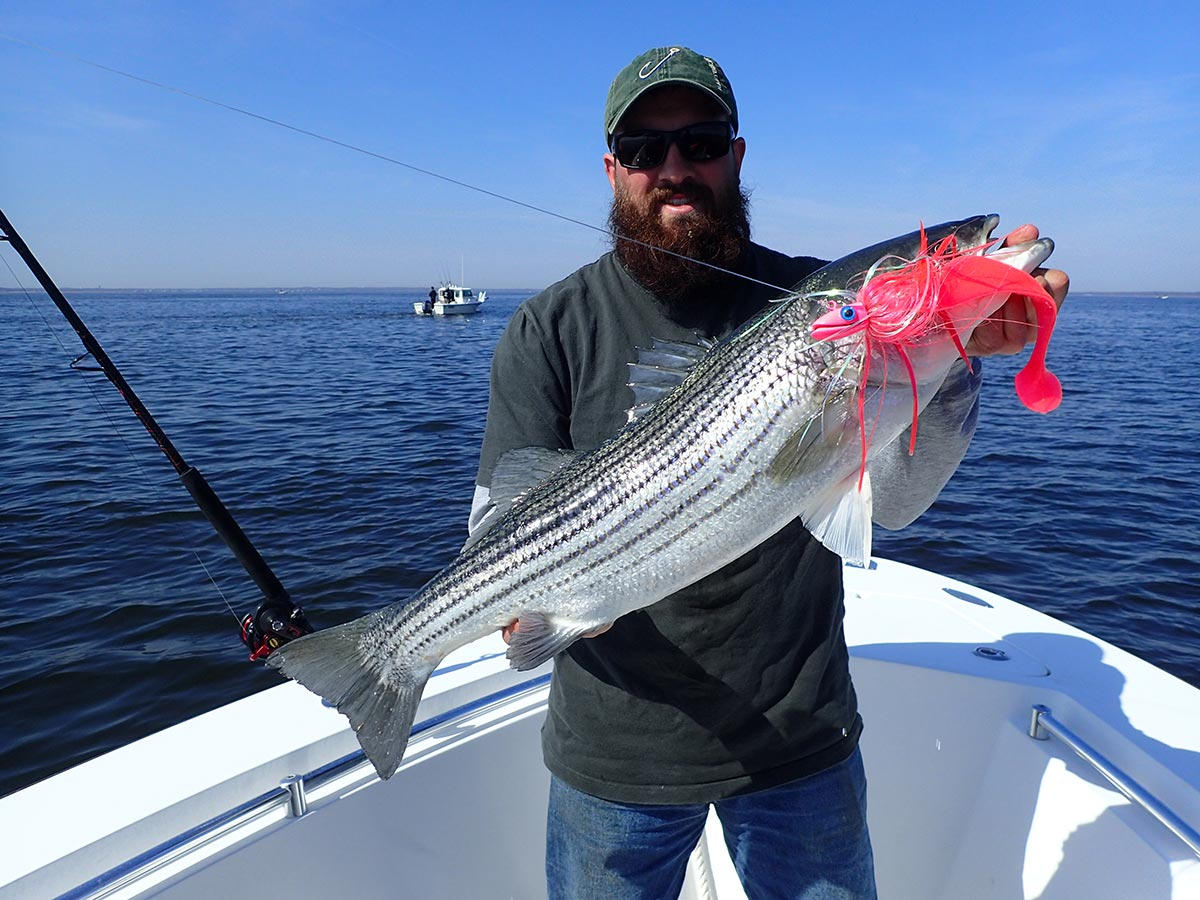 Man showing off striped bass with bait