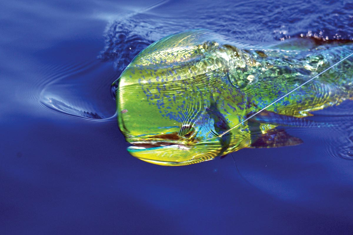 dolphinfish (aka dorado or mahi mahi) is typically found on the offshore grounds