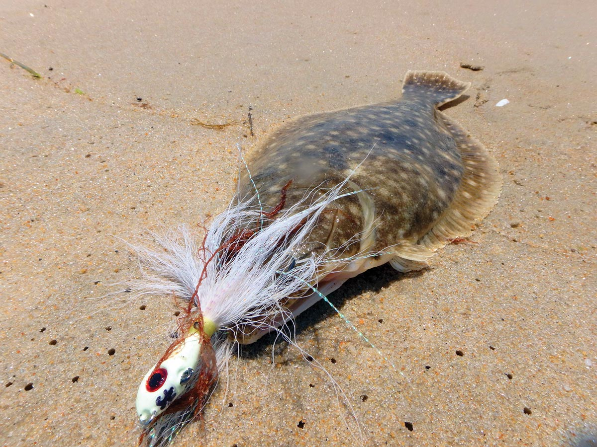 fluke fish attached to a bait on the sand