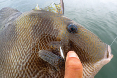 triggerfish are tough as tautog and are incredibly tasty on the plate