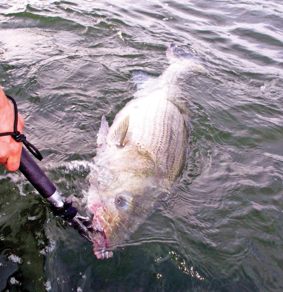 Catching a striper fish