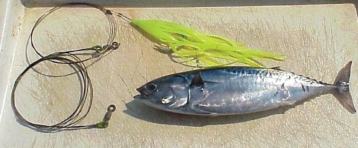 frigate mackerel