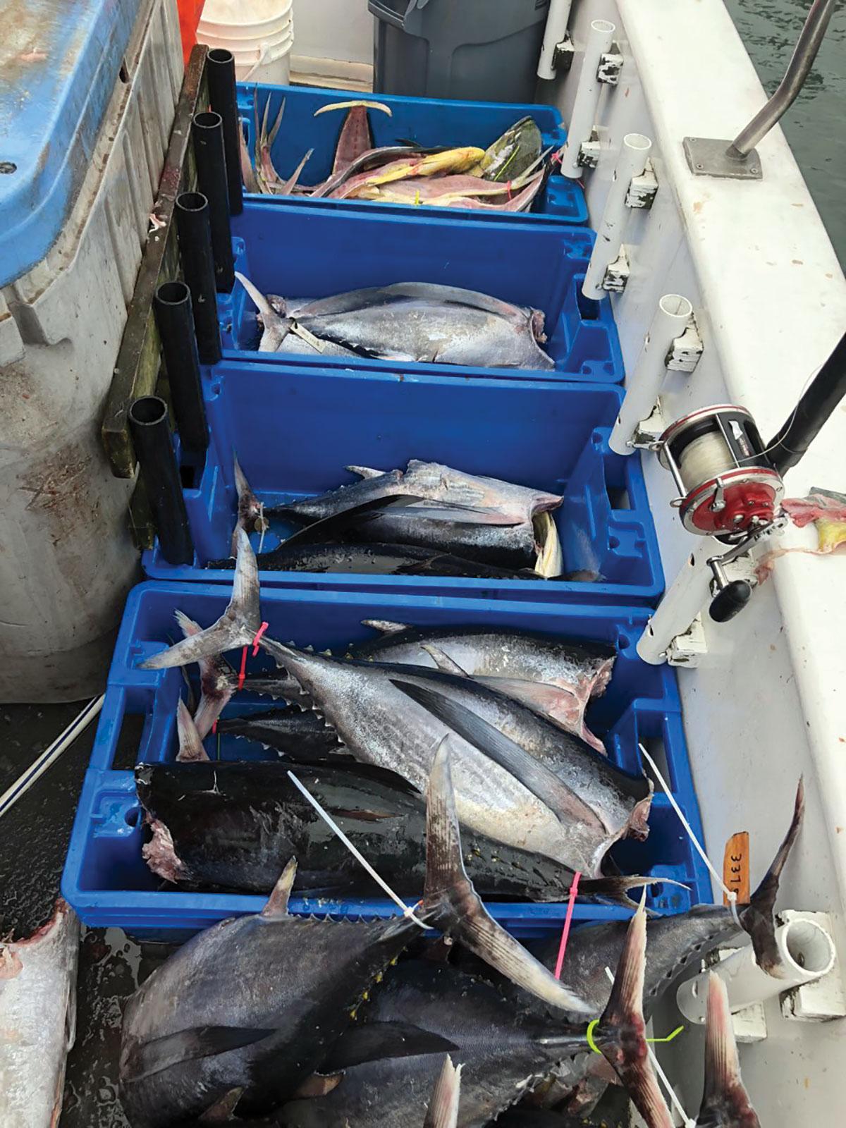 longfin albacore and mahi