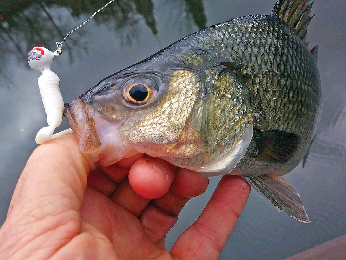 If you don't have any small bucktail jigs, a simple jighead with curly tail can be just as effective on winter white perch.