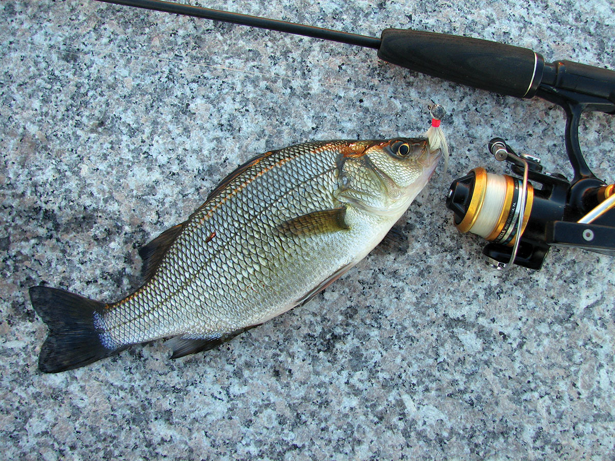 this cousin of the striped bass is a great off-season target.